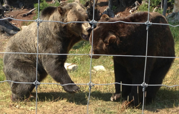 Two grizzlies play fight on Grouse Mountain