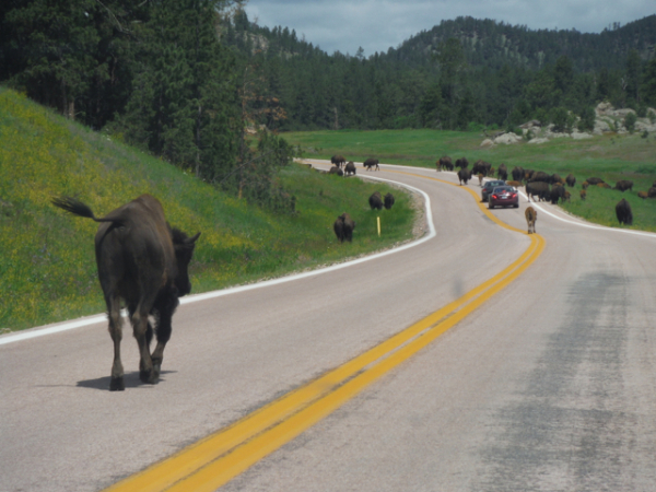 Spud finds Buffaloes in the US mid-West